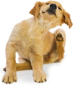 Les allergies saisonni res chez le chien for Koi qui se gratte