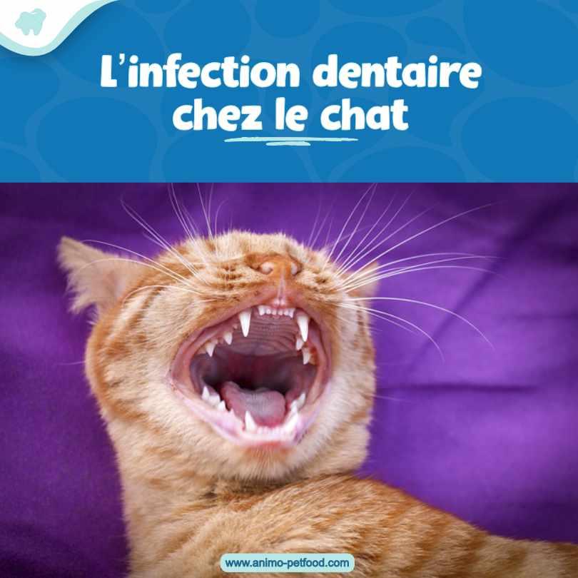 L'infection dentaire chez le chat