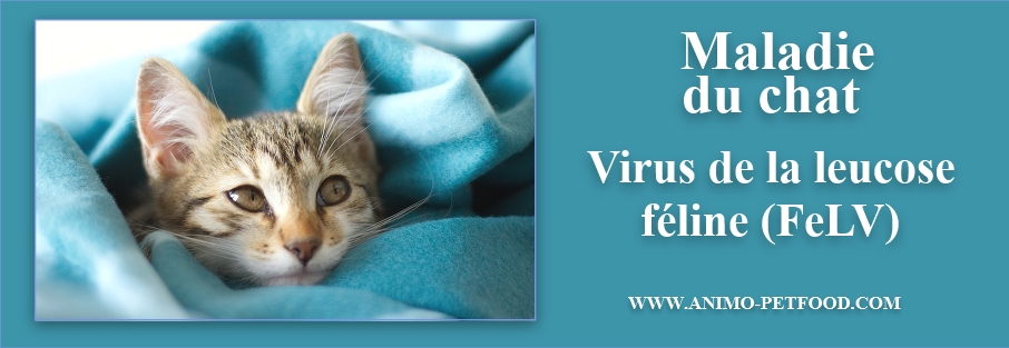 CHAT- Maladie chat-leucose féline- leucose chat -FELV CHAT-virus chat