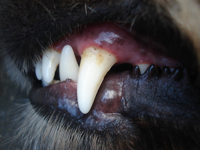 dents chien-dents chat - soin dentaire chien-soin dentaire chat-plaque dentaire chien - plaque dentaire chat- tartre chat- tartre chien