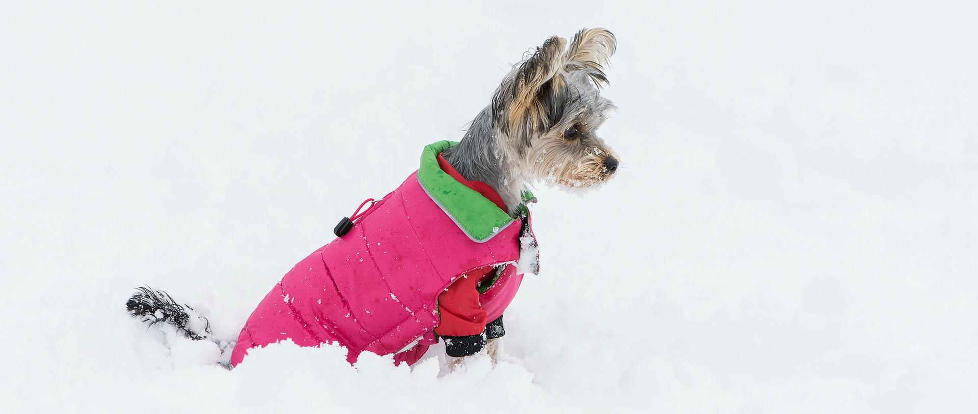 les chiens ont ils besoin d 39 un manteau ou d 39 un chandail pour l 39 hiver. Black Bedroom Furniture Sets. Home Design Ideas